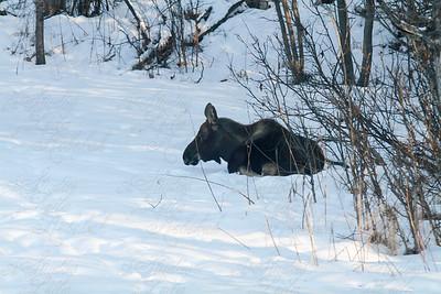 Week 6- Moose