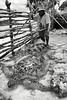 Wejieme Wemiko en train d'inspecter les tortues de la réserve des grands chefs à Ahmelewedr. Lifou/Iles Loyauté/Nouvelle-Calédonie
