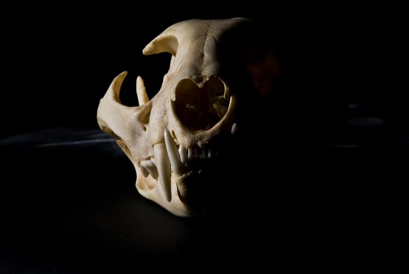 Dead 50- Pound Bobcat. 2008.