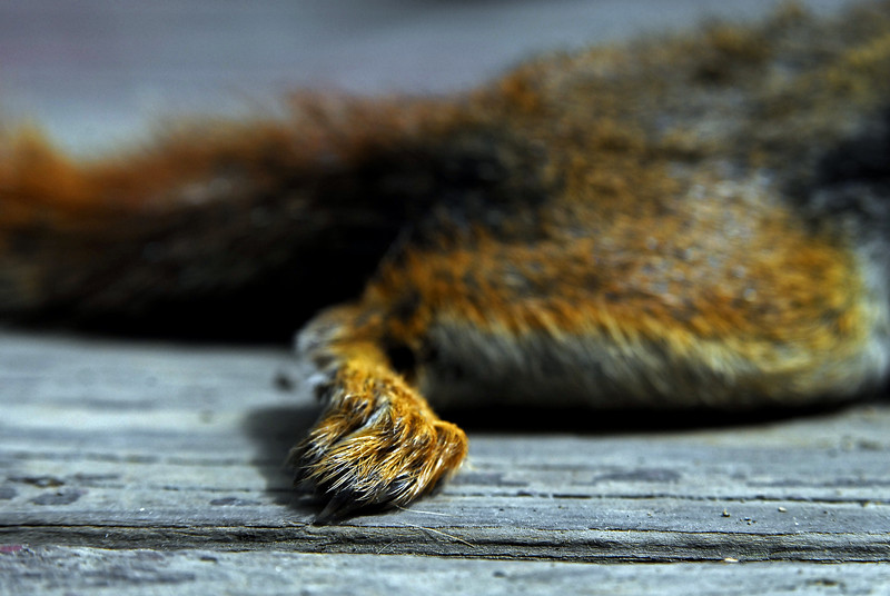 Dead Red Squirrel. Nassau, NY. 2007.