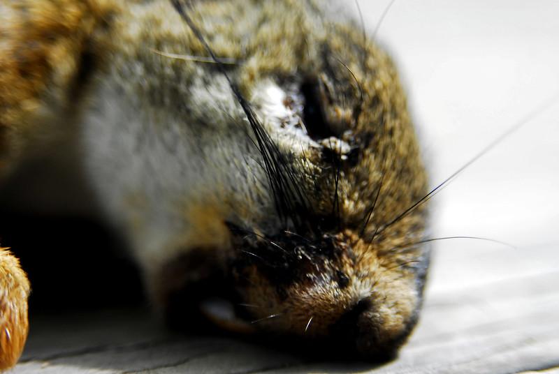Dead Red Squirrel. Nassau, NY. 2007.