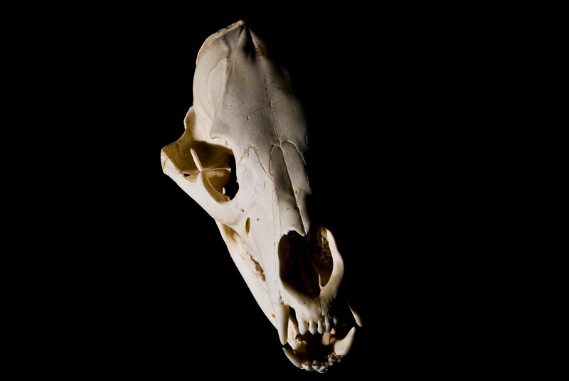 Dead Black Bear. 2008.