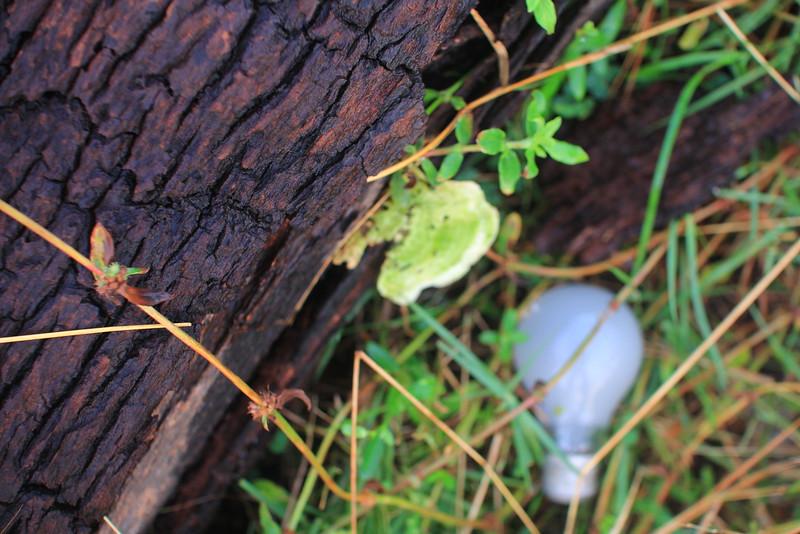 Rare green tree mushrooms & lampa-trovattina
