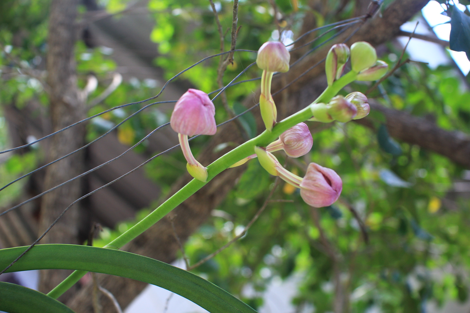 beginning of blossoming of the orchid at Khao Tam Sanctuary