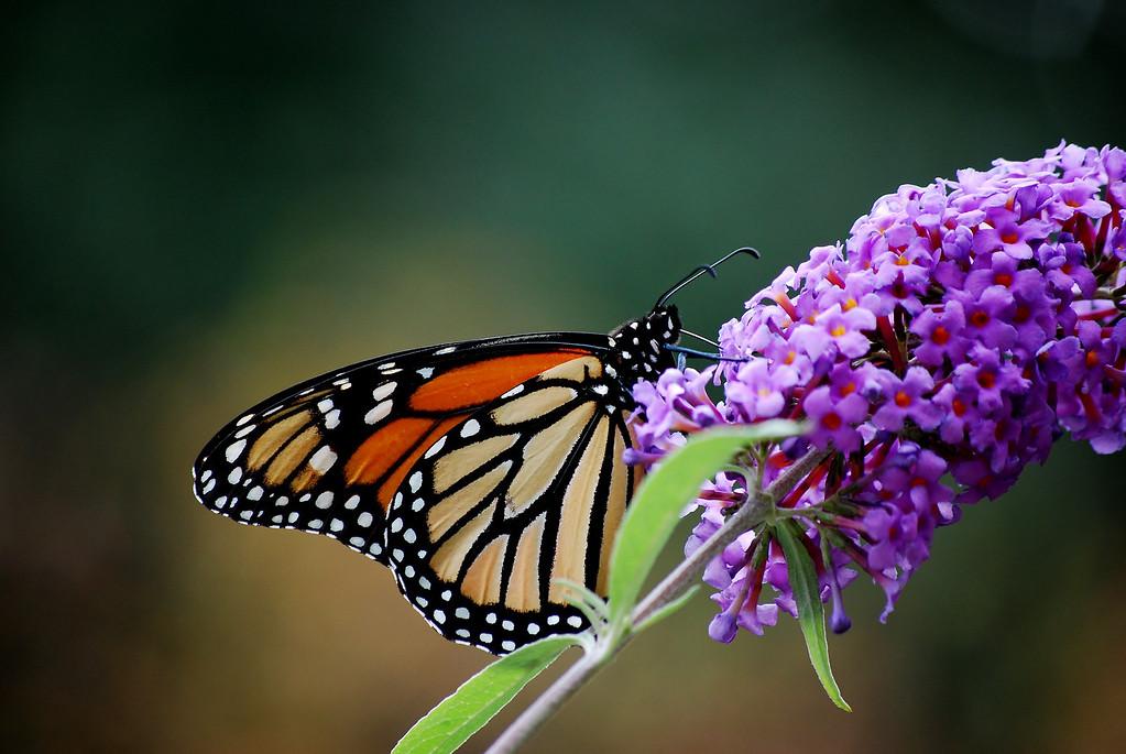 Monarch in Repose