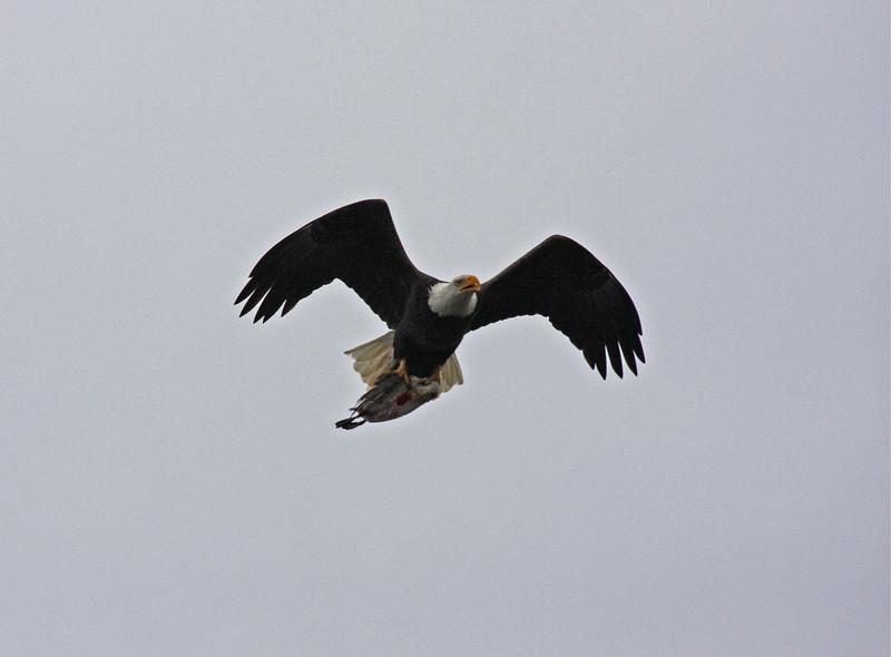 Bald Eagle and its prey.