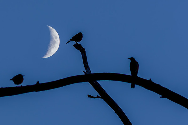 Birds Perched Under the Moon