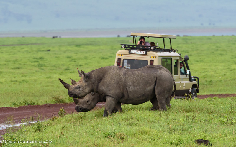 Mark and Kristy Rasmussen photographing Black Rhinos - Ngorongoro National Park, Tanzania, Africa - Darren Stratemeier - January 2016