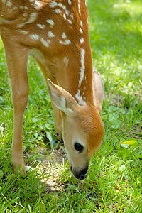 Stock image of a young deer fawn