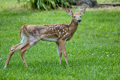 Stock image of a young deer fawn during rehabilitation after injuries