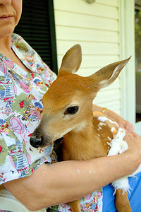 Stock image of a young deer fawn being cuddled during rehabilitation and medical treatment of injuries