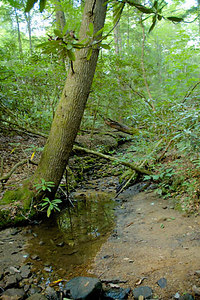 Stock image of trees in the Blanton Forest of eastern Kentucky USA.  This preserve contains a  large stand of original virgin southern applachian forest.
