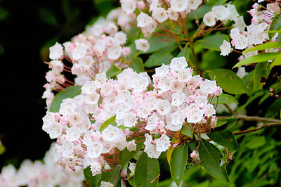 Stock image of Mountain Laurel wildflowers.  The scientific name for these flowers is Kalmia latifolia. Photographed  on Clinch Mountain in southerwestern Virginia.