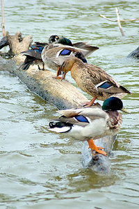 Stock image of Mallard ducks on a log in the water at the park