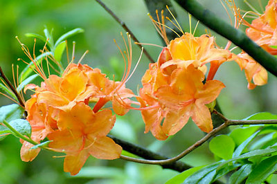 Stock image of Flame Azalea wildflowers.  The scientific name for these flowers is Rhododendron calendulaceum. Photographed  on Clinch Mountain in southerwestern Virginia.
