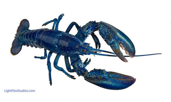 Blue_Lobster-010