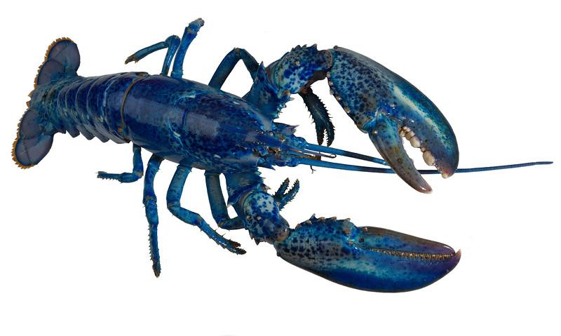 Blue_Lobster-010 Finished