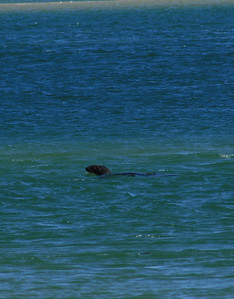 Seal swimming into the harbor.  We didn't see any Great White Sharks coming after him!
