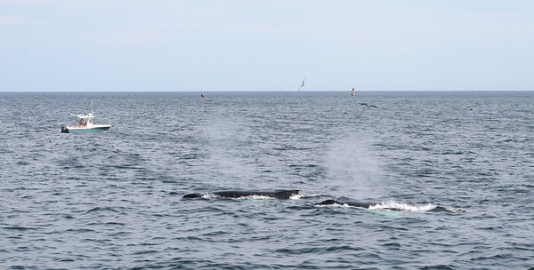 Two humpback whales blowing.