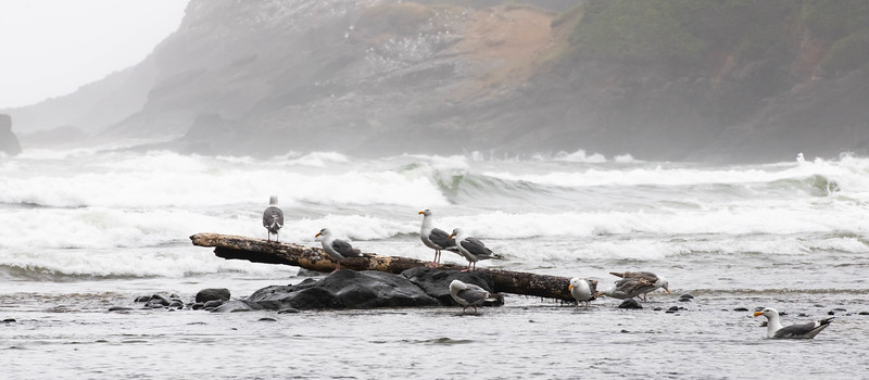 Shore Birds ~ Oregon Coast