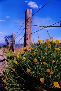 Hesperia Poppies