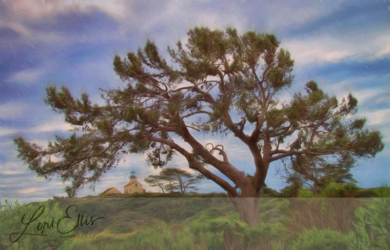 Point Loma Lighthouse Framed by a Torrey Pine, San Diego, California