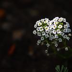 2020-04-14 Flowers in our Neighborhood Lightpainted_0029 - Lightpainted