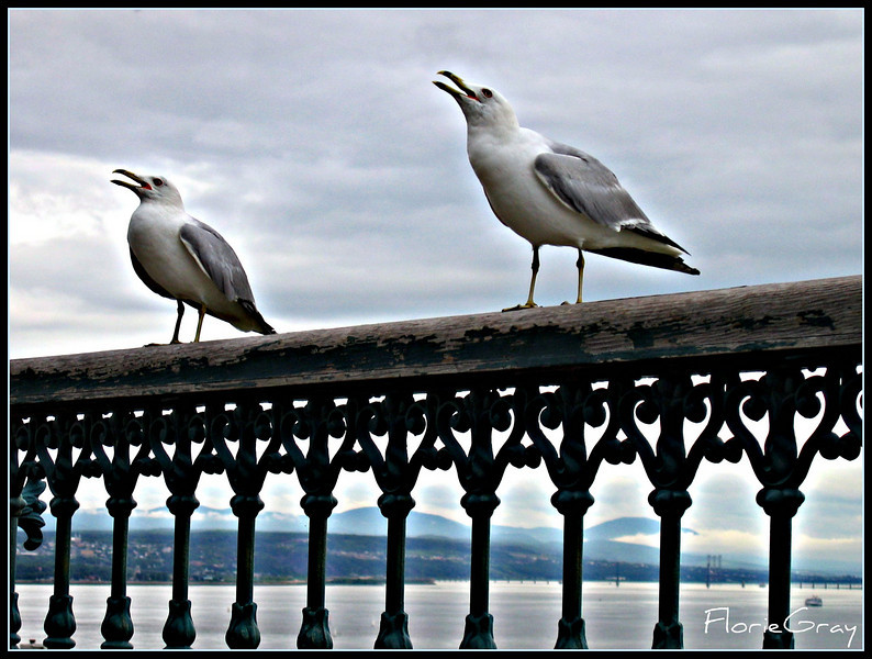 Happy Gulls, Quebec City