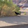 Desert Raven