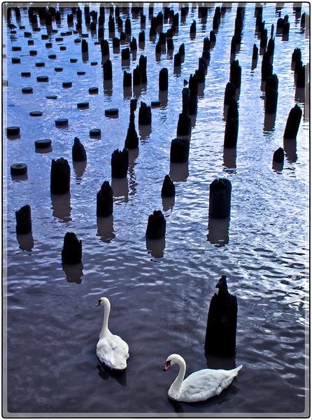 Swans on the Hudson