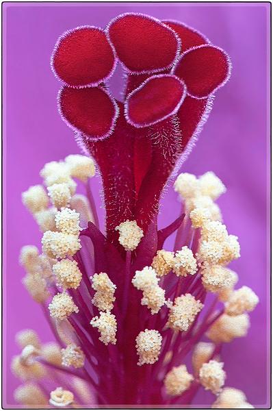 Hibiscus Trunk