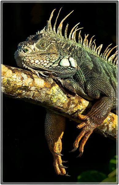 Iguana, Cidra