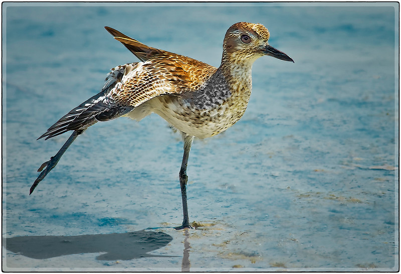 The Least Sandpiper, Cabo Rojo