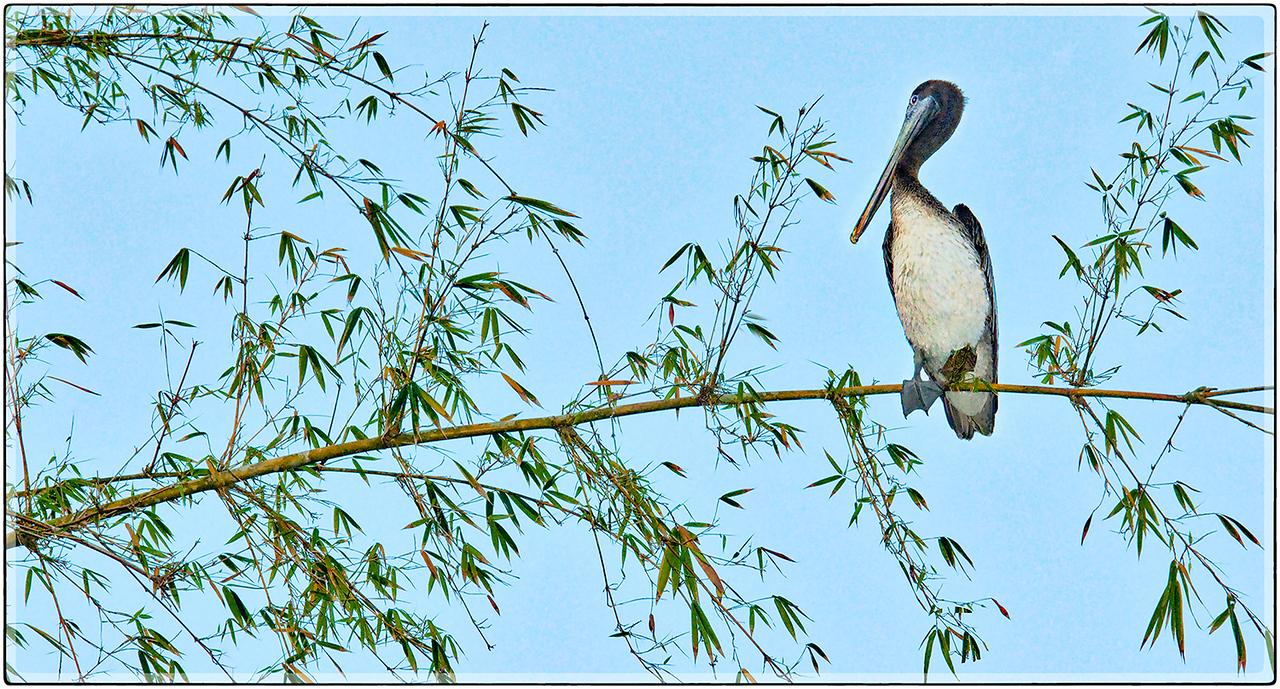 Pelicano, Cidra