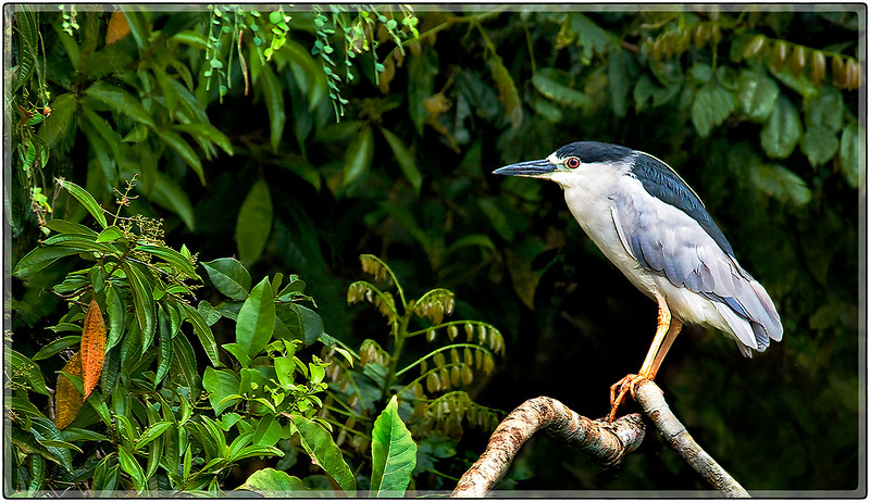 Night Heron, Cidra