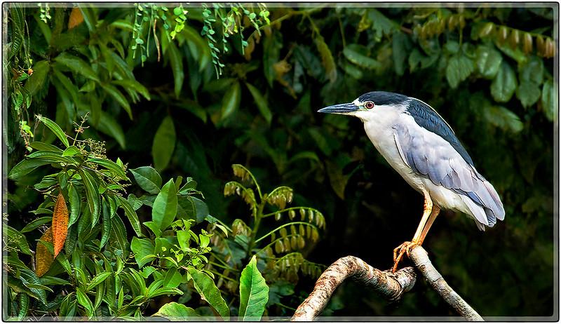 Night Heron, Cidra
