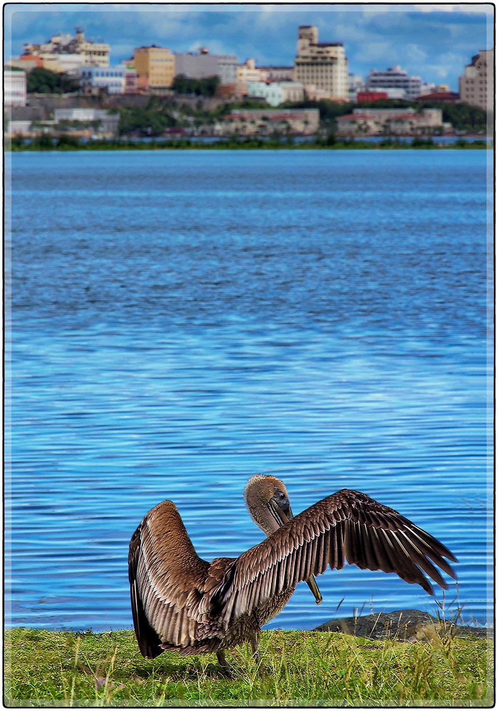 Pelicano II