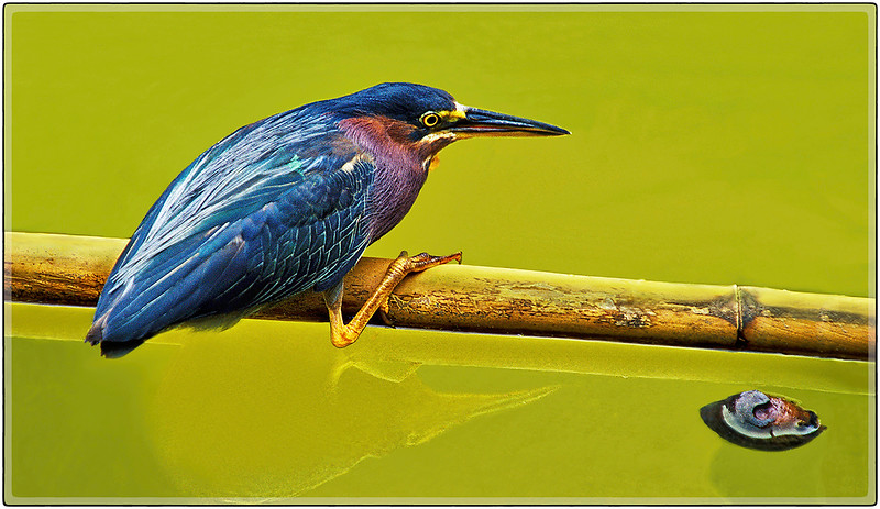 Little Green Heron, Santurce