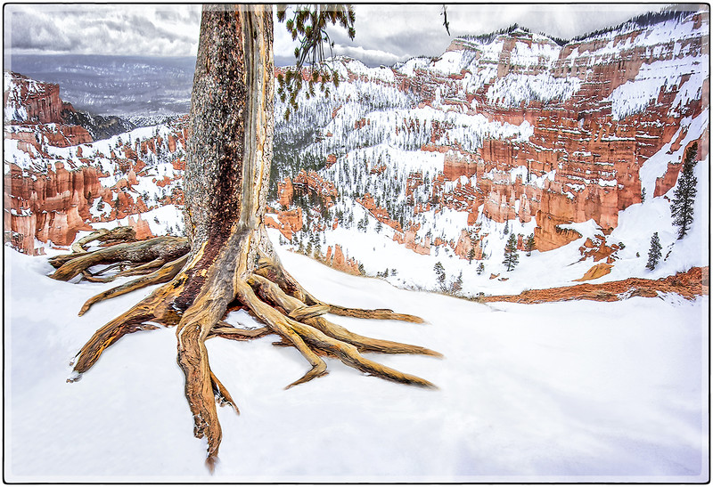Roots in the Snow