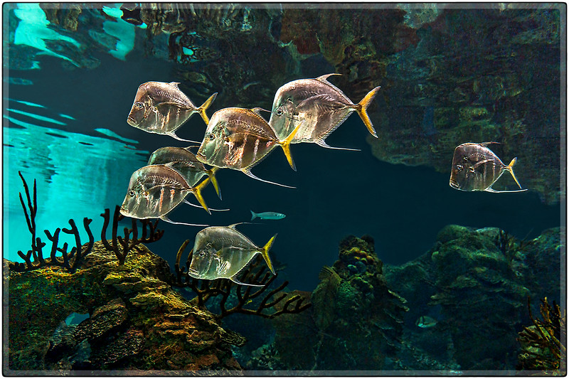 A School of Lookdown Fish