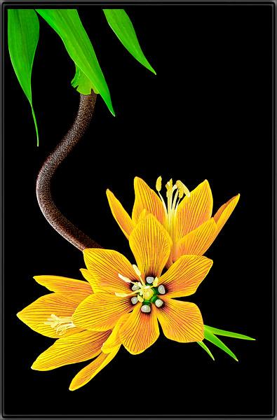 Fritillaria Rubra Maxima