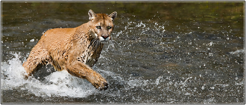 Cougar in the Water