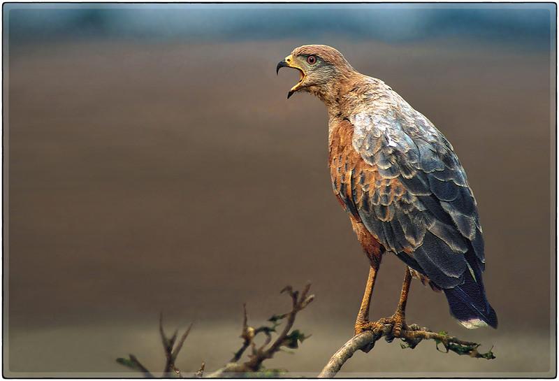 Venezuelan Savannah Hawk