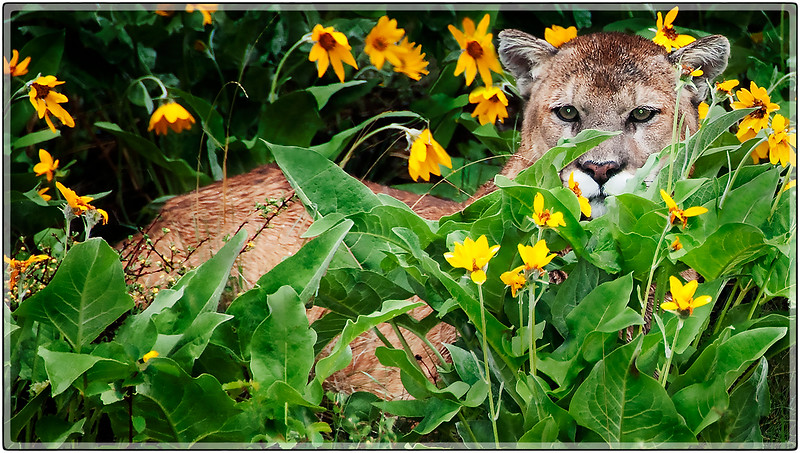 Cougar in the Brush