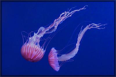 Jelly Fish Encounter