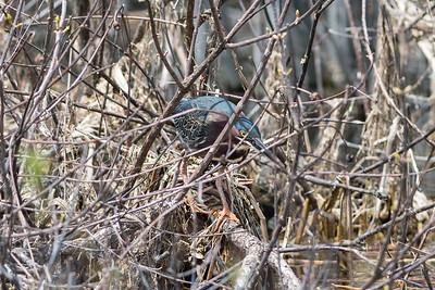 Green heron; héron vert; Butorides virescens