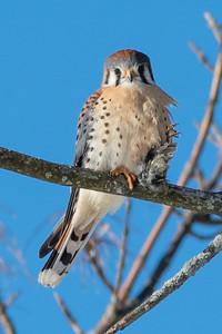 American kestrel, Falco sparverius, Crécerelle d'Amérique