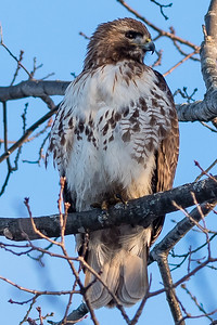 Red-tailed hawk, Buse à queue rousse, Buteo jamaicensis