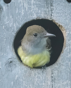 Great Crested Flycatcher, Tyran huppé, Copetón viajero