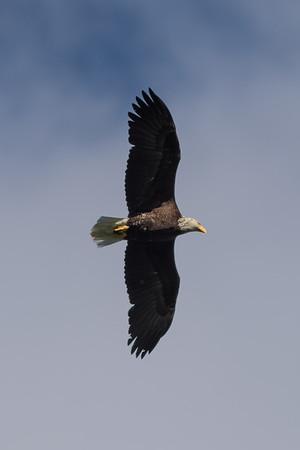 Bald Eagle, Pygargue à tête blanche, Pigargo americano